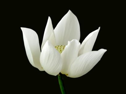 10white_lotus