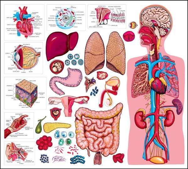 human-anatomy-for-kids